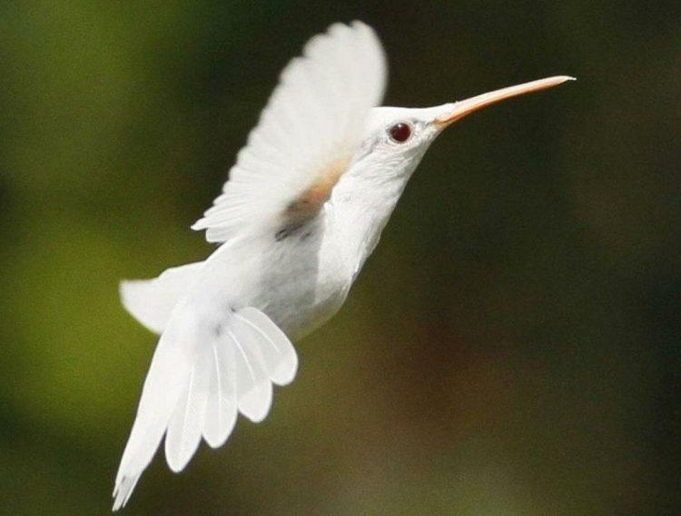 Красота в белом: 30 животных-альбиносов